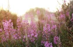 Fleur sauvage en brouillard sur le coucher du soleil Image stock