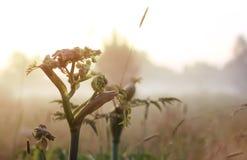 Fleur sauvage en brouillard sur le coucher du soleil Photo stock