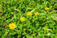 fleur sauvage jaune avec la feuille verte dans la campagne Photos libres de droits