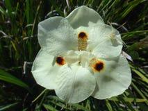 Fleur sauvage jaune d'iris Photo stock