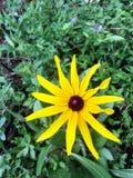 Fleur sauvage jaune de marguerite images stock