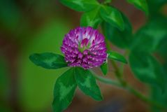 Fleur sauvage pourpre Photographie stock
