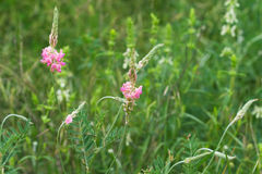 Fleur sauvage rose bouclée d'herbe Photo libre de droits