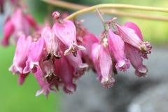 Fleur sauvage rose d'Amore de Dicentra Images stock