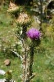 Fleur sauvage violette à Srinagar, Cachemire, Inde Image libre de droits