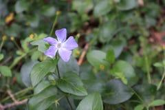Fleur sauvage violette minuscule d'isolement photos stock
