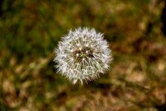 Fleur semée de pissenlit dans un pré côtier Image stock