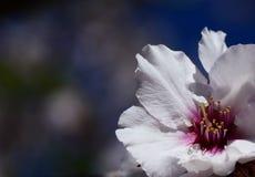 Fleur sensible d'arbre d'amande images stock