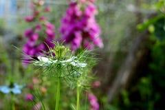 Fleur sensible de nigella sur le fond de la digitale rose Image stock
