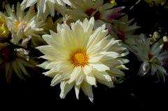 Fleur simple blanche Images libres de droits
