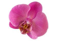 Fleur simple d'orchidée d'isolement avec le chemin de découpage Images stock