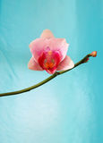 Fleur simple d'orchidée de bourgeon sur le fond de turquoise Photos stock