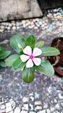 Fleur simple de bigorneau photo libre de droits