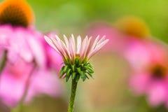 Fleur simple de cône Photographie stock