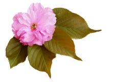 Fleur simple de cerise Photo libre de droits