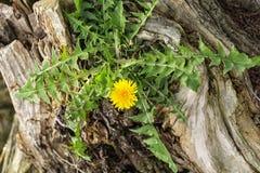 Fleur simple de pissenlit images stock