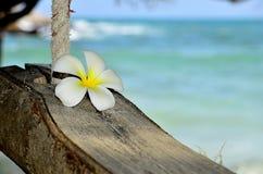 Fleur simple de Plumeria sur les oscillations de corde Images libres de droits