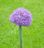 Fleur simple de rocambole Images stock