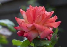 Fleur simple de rose de rouge de vue de plan rapproché, Seattle, Washington photos stock