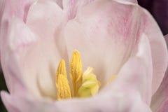 Fleur simple de tulipe de rose en pastel dans la fin  Image libre de droits