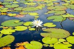 Fleur simple fleurissant sur un lac Photographie stock libre de droits