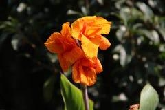 Fleur simple jaune-orange Photo libre de droits