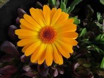 Fleur simple orange lumineuse de Calendula de plan rapproché Image stock