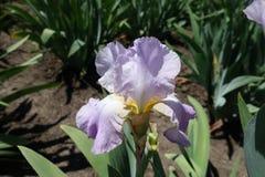 Fleur simple violette en pastel d'iris germanique image libre de droits