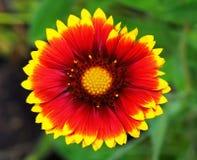 Fleur solaire Photographie stock