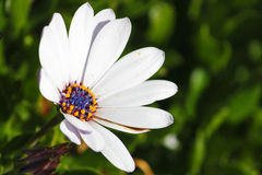 Fleur solitaire Photo libre de droits