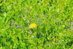 Fleur solitaire de pissenlit parmi l'herbe et la Veronica Chamaedrys dessus image stock