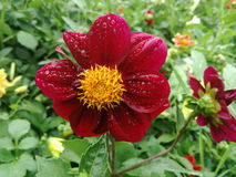 Fleur sous la pluie Photos libres de droits
