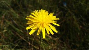 Fleur spheric jaune au printemps, primavera d'en d'esférica d'amarilla de Flor, Espagne photographie stock libre de droits