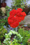 Fleur succulente photos libres de droits
