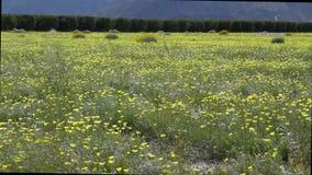 Fleur superbe de Borrego Springs banque de vidéos