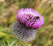 Fleur sur des montagnes d'Alpes Image libre de droits