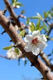 Fleur sur l'arbre d'amande douce (espèces : Amygdalus de Prunus, syn. P.R. Photo stock