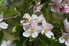 Fleur sur l'arbre et l'abeille bussy photo stock