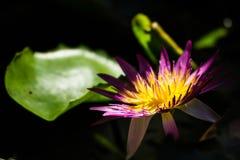 Fleur sur l'eau photographie stock libre de droits