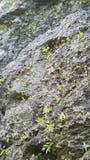 Fleur sur la roche Photographie stock libre de droits