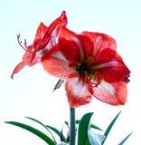 Fleur sur le blanc Photos libres de droits