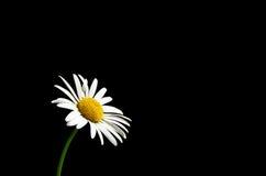 Fleur sur le fond noir Photographie stock libre de droits