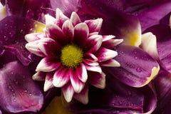Fleur sur pétales Photographie stock libre de droits