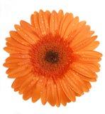 Fleur sur un fond blanc Image libre de droits