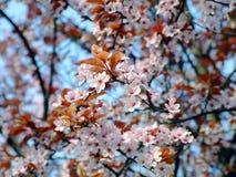 Fleur tôt de source Photographie stock libre de droits