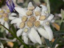 Eryngium alpinum Stock Image