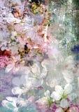 Fleur tendre romantique de cerise et fond modifié Photo libre de droits