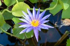 Fleur thaïe Photo stock