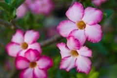 Fleur thaïe de type au rose Photos stock
