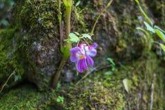 Fleur thaïlandaise d'orchidée pourpre/orchidée thaïlandaise Image libre de droits